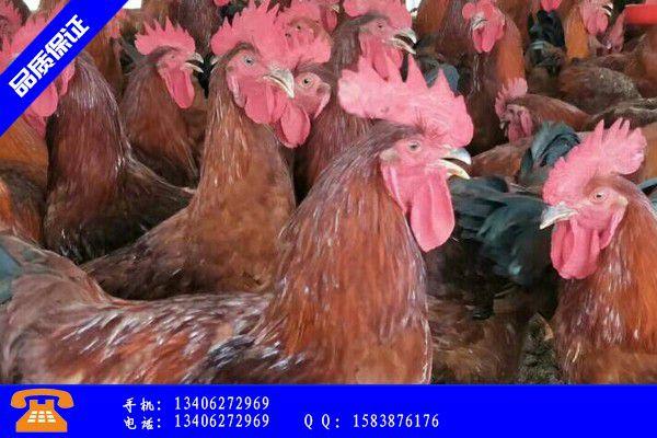 鄂州市批发九斤黄鸡苗优势素质