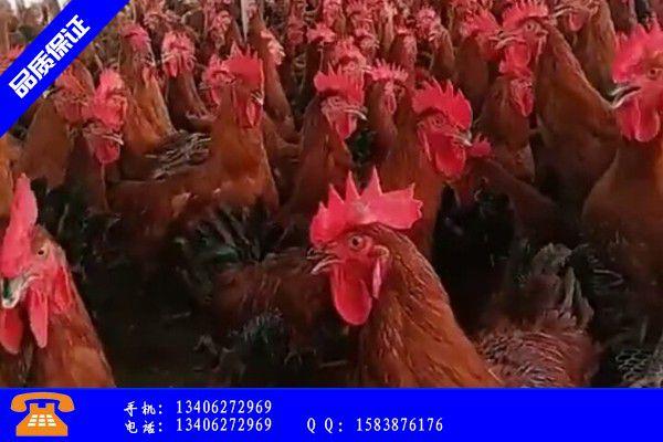 七台河桃山区一个鸡苗多少钱专业定做