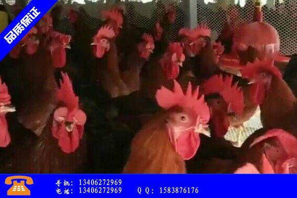 成都武侯区鸡苗价格行情产业市场发展将趋于
