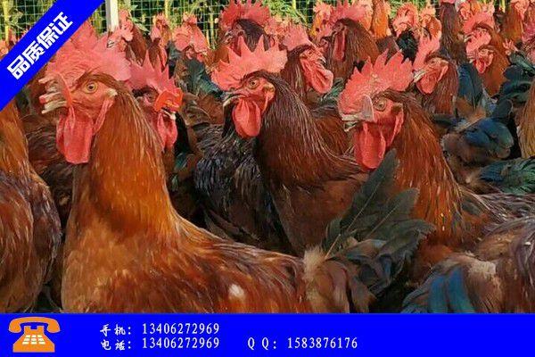 日喀则萨嘎县30天九斤黄鸡苗便宜厂家报价