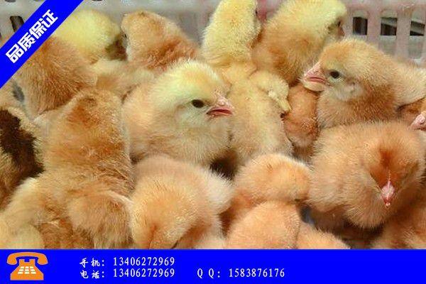 泸州叙永县土鸡苗多少钱一个产业形态是什么