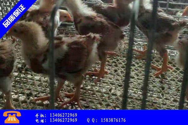 文山壮族苗族马关县肉食鸡雏价格市场价格
