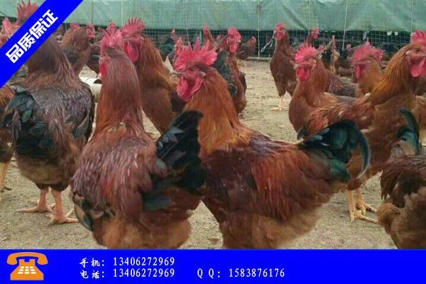 三亚市哪里有红玉鸡苗孵化场价格运行平稳部分地区略有回升