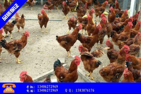 淄博红玉公鸡价格有哪些