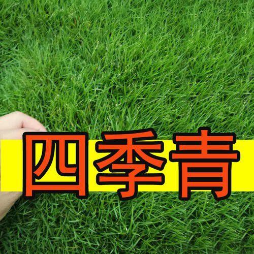 唐山滦县高羊茅种子价稳平淡