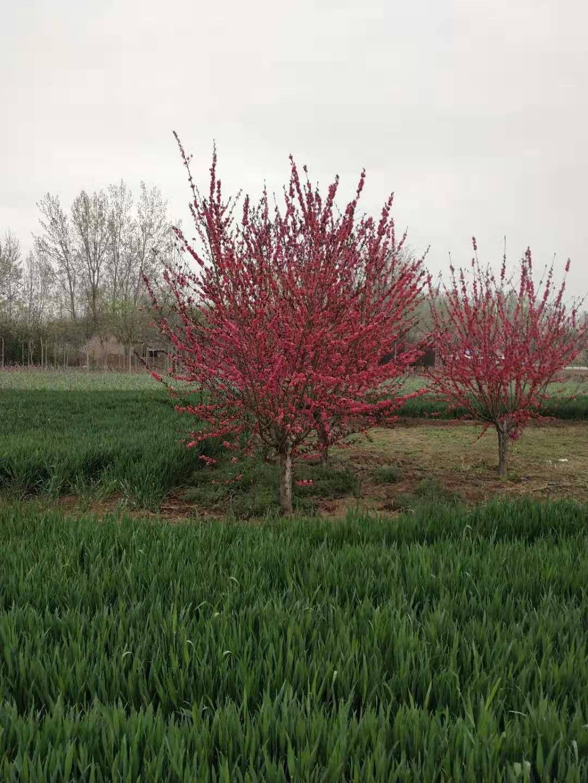 台州天台县花灌木上涨之路或非一蹴而就